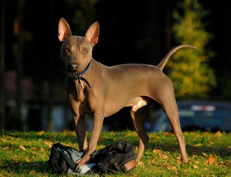 Американский голый терьер | породы собак | моя собака