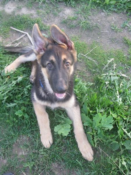 Уши немецкой овчарки - какие они должны быть, когда встают уши у щенков, и что делать если долго не встают