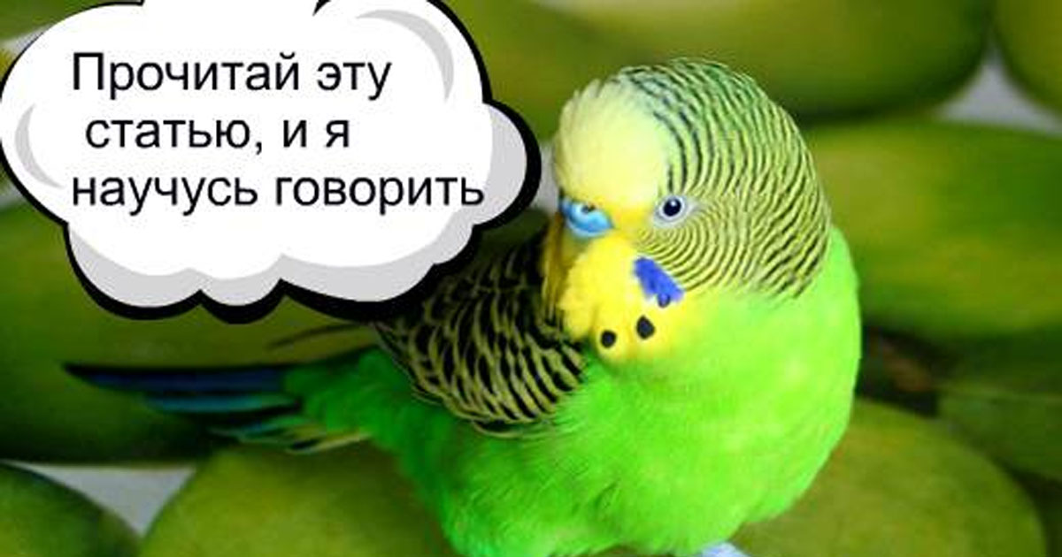 Как научит волнистого попугая разговаривать: 7 шагов