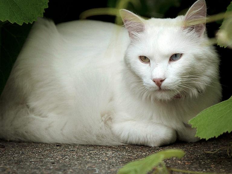 Турецкая ангора кошка фото, цена котят, описание породы и характера, отзывы