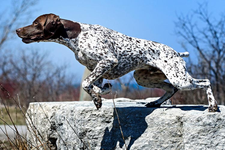 "Собаки породы курцхаар: здоровье, уход, характер | блог ветклиники ""беланта"""