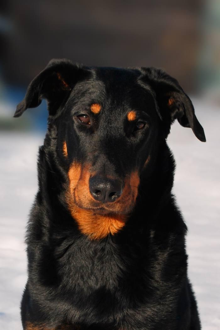 Босерон (французская овчарка) — фото, описание породы и особенности содержания собаки