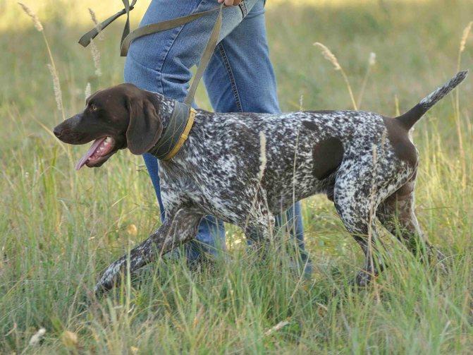 Курцхаар: стандарт породы, плюсы иминусы прирожденного охотника