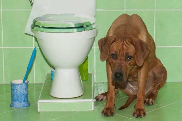 Понос у собаки: причины, виды, лечение | нвп «астрафарм»