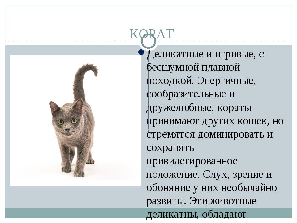Кошка корат: описание внешности и характера породы, уход за питомцем и его содержание, выбор котёнка, отзывы владельцев, фото кота