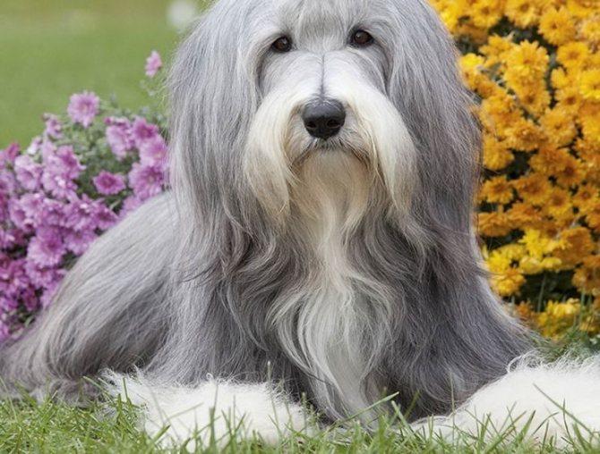 Колли собака. описание, особенности, виды, цена и уход за породой колли   живность.ру