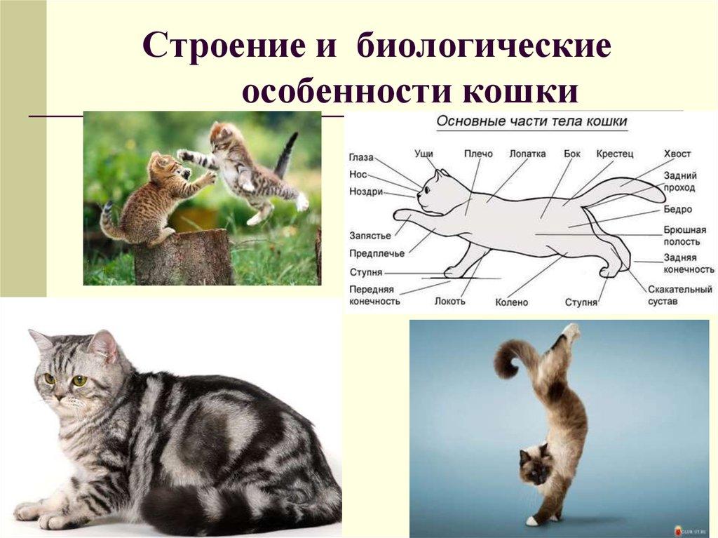 Зачем кошке нужен хвост: основные функции, объяснение настроения животного по положению хвоста, проблемы хвостового отдела позвоночника