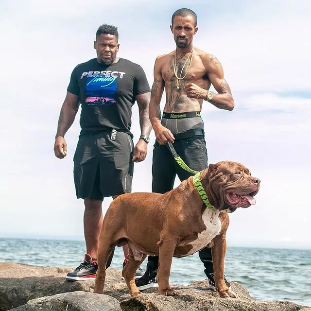 Американский питбуль фото, описание породы собаки, цена щенка, отзывы