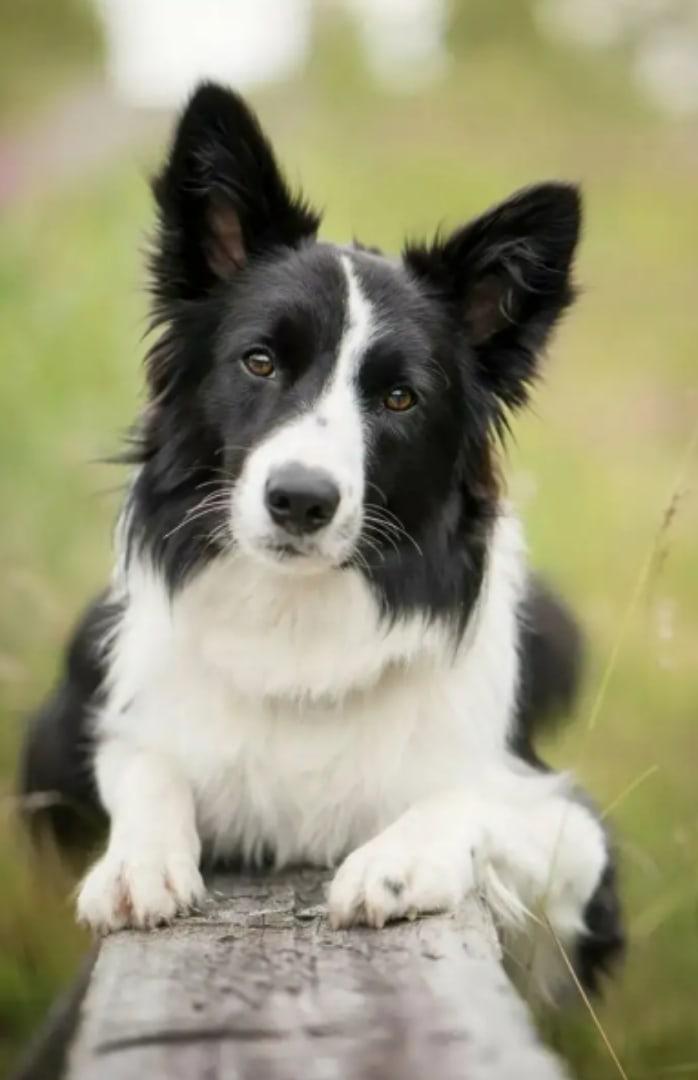 Бордер-колли (48 фото): описание породы, мраморные и рыжие окрасы щенков, характер и размеры собак, отзывы владельцев