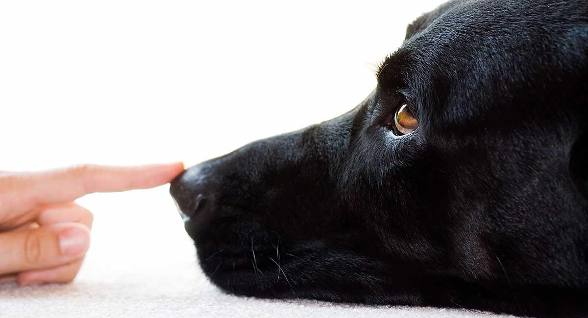 Почему у собаки мокрый нос или почему у собаки отличный нюх