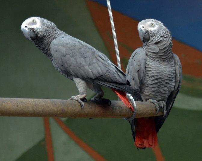 Попугай жако – фото, описание, содержание, питание, купить