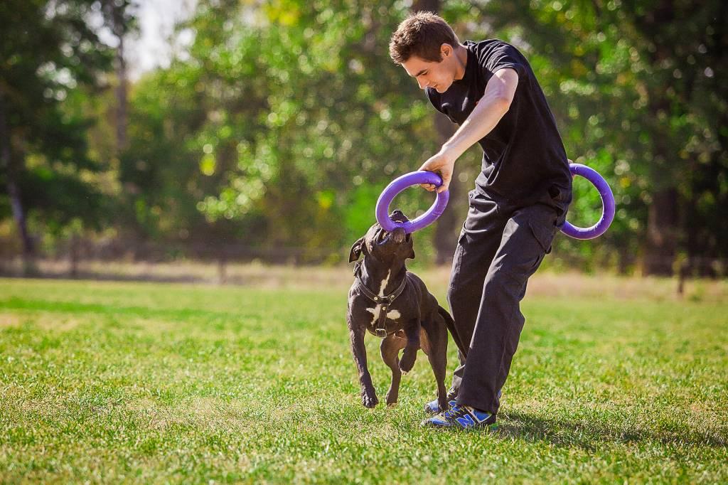Собака питбуль — домашний супергерой, воспитанный вами