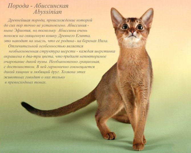 Курильский бобтейл: описание породы, стандарты, характер, окрасы, фото кошки, отзывы владельцев и сколько живут?