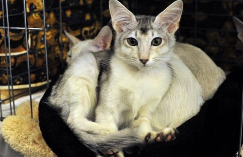 Яванез (яванская кошка): описание породы, характер и уход (с фото)