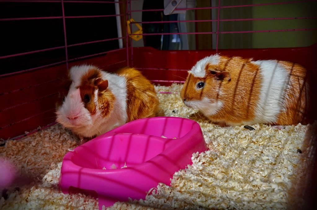 Можно ли морским свинкам дыню: организация питания грызунов