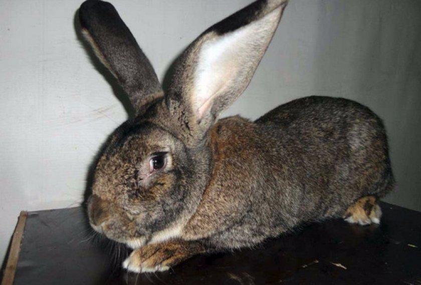 Кролики породы бельгийский великан (фландры) — фото, как разводить и содержать