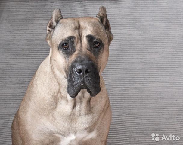 Канарский дог (перро де преса канарио) — фото, описание породы собак, особенности