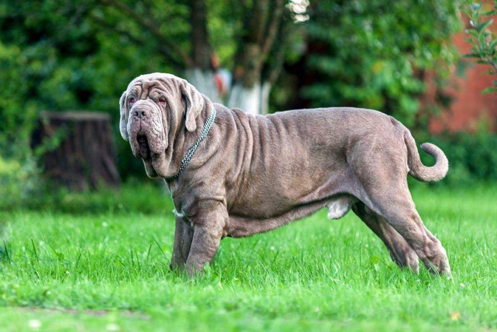 Породы самых больших собак в мире