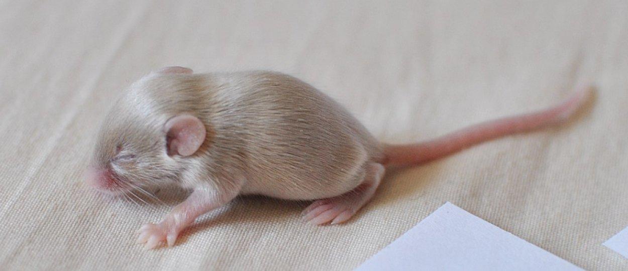 Как ухаживать за домашней крысой? правила содержания ручных крыс в домашних условиях. что нужно знать о кормлении декоративных крыс?