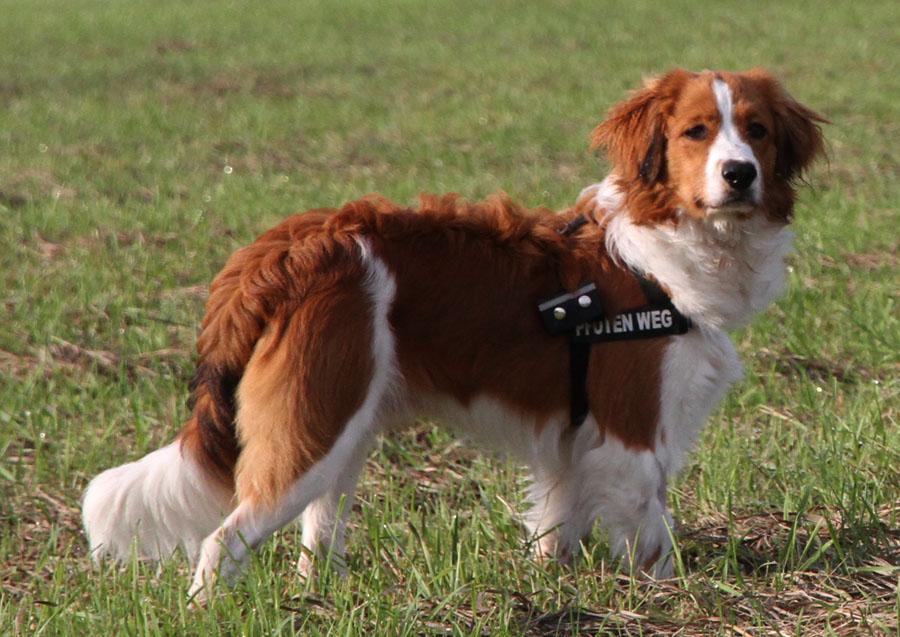 Коикерхондье: описание породы, характер, фото | все о собаках
