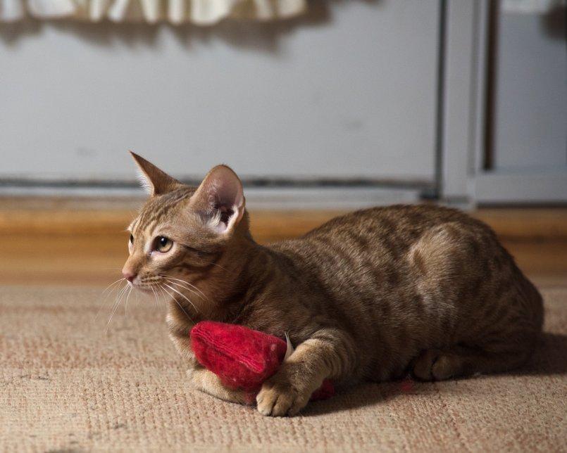 Турецкая ангора: история происхождения породы с советами по выбору котенка, 50 фото