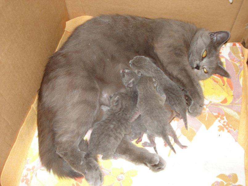 Сколько котят рожает кошка в первый раз   первые роды