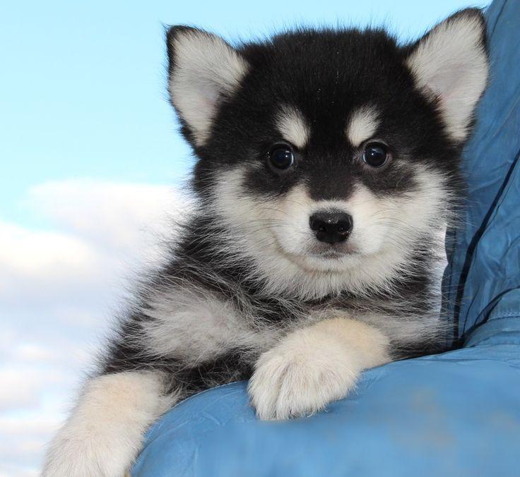 Помесь хаски и шпица: все о породе помски, описание и характер, советы по выбору, цена щенков, фото и видео собак