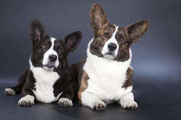 Вельш корги пемброк (welsh corgi cardigan) — особенности и описание породы, фото, характер, содержание, все о собаке от а до я