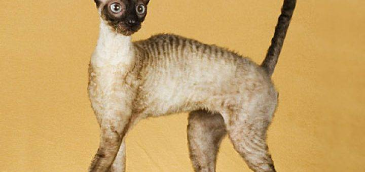 Корниш-рекс — все о породе кошек, фото, особенности ухода, повадки, внешний вид, характер, чем кормить, сколько живут