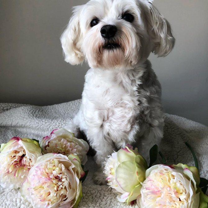 Характеристика собак породы мальтезе. в чем разница между мини и стандартом?