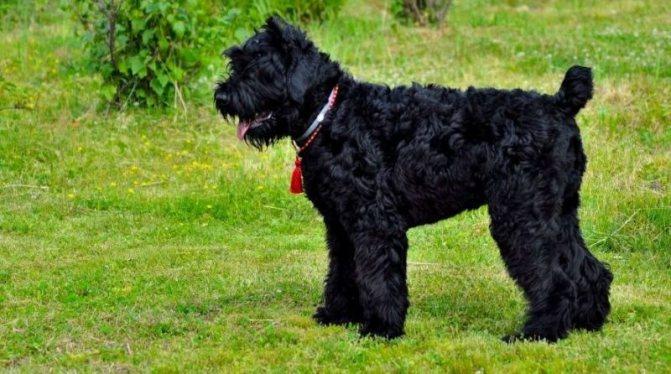 Описание породы собак русский черный терьер (собака сталина) с отзывами владельцев и фото