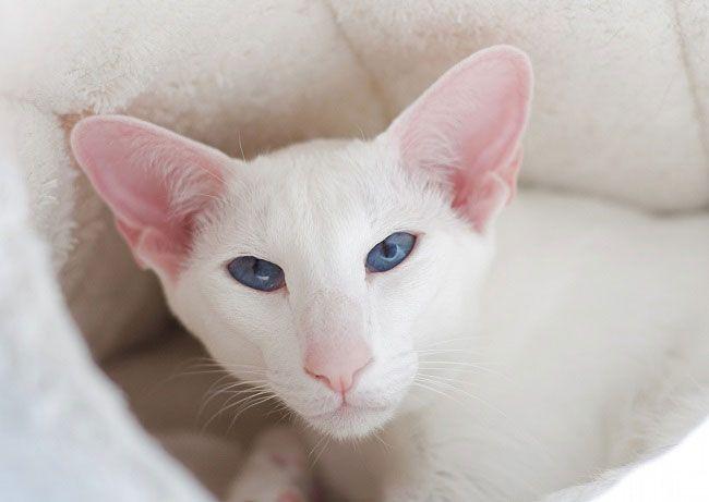 Породы белых с серыми пятнами кошек