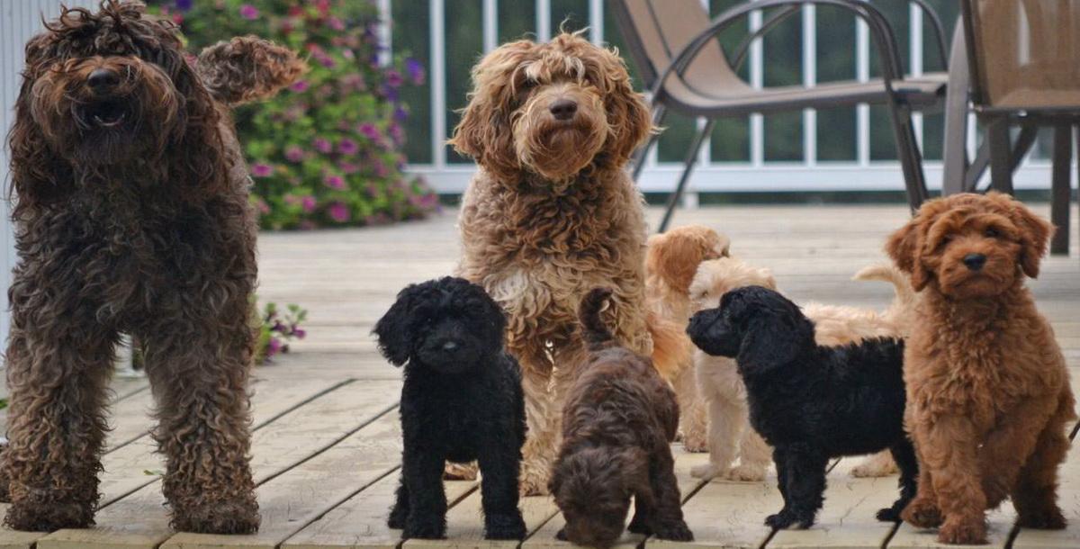 Лабрадудель (коббердог): описание породы собак с фото и видео