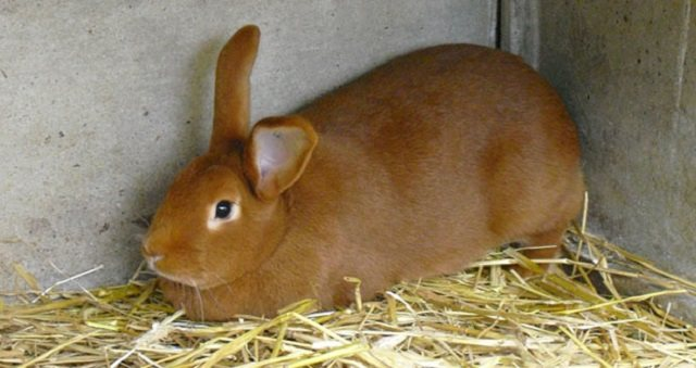 Бургундская порода кроликов - описание, содержание и уход (фото и видео)