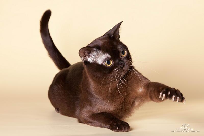Бурманская кошка (бурма): фото, характер, описание и отзывы о породе