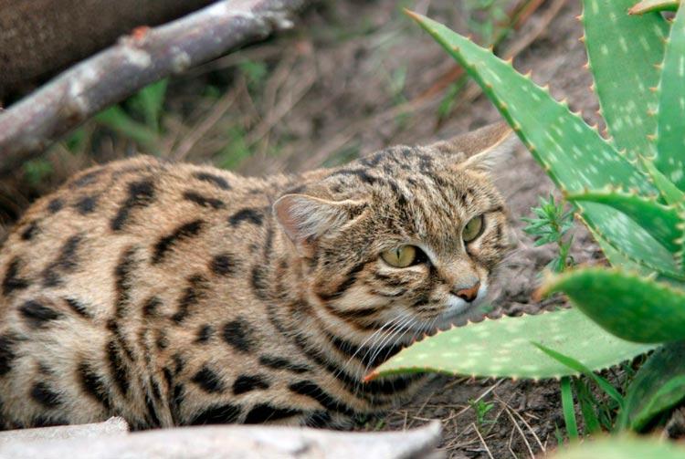 Африканские породы кошек с фотографиями и названиями