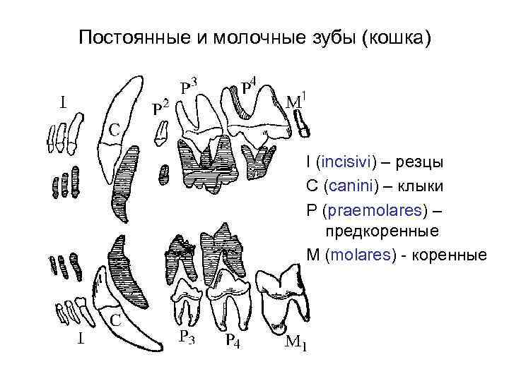 Сколько зубов у кошки: система строения и особенности