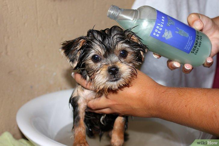 Как часто можно мыть, купать собаку, чихуахуа, йорка? чем и как купать собак? обзор шампуней для собак от блох, перхоти, запаха