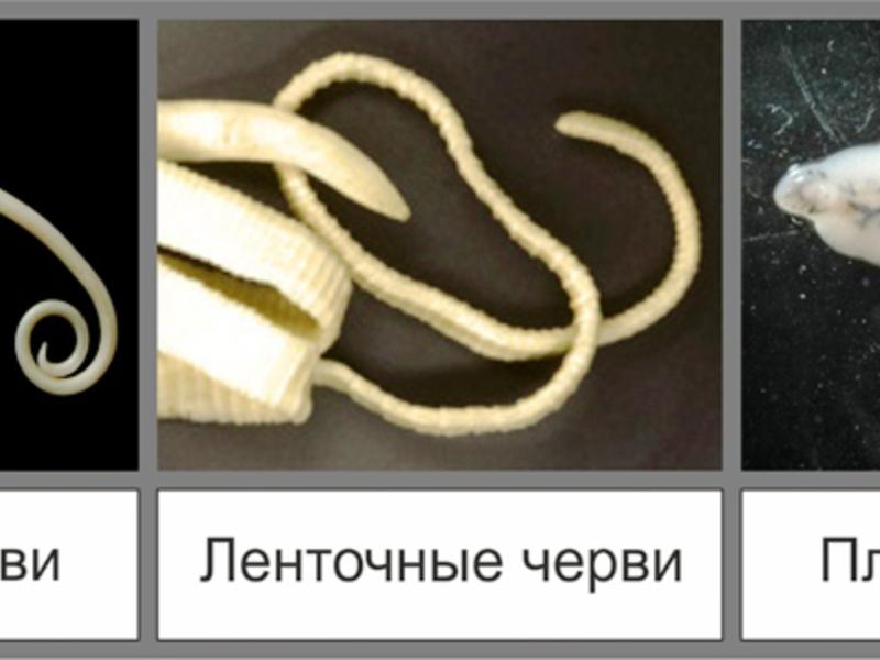 """Глисты у кота: симптомы, лечение, профилактика   блог ветклиники """"беланта"""""""