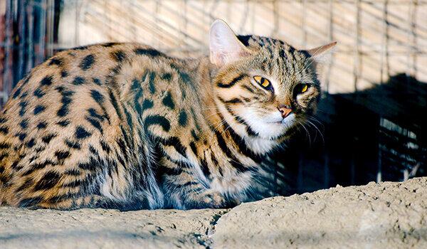 Черноногая кошка   мир животных и растений