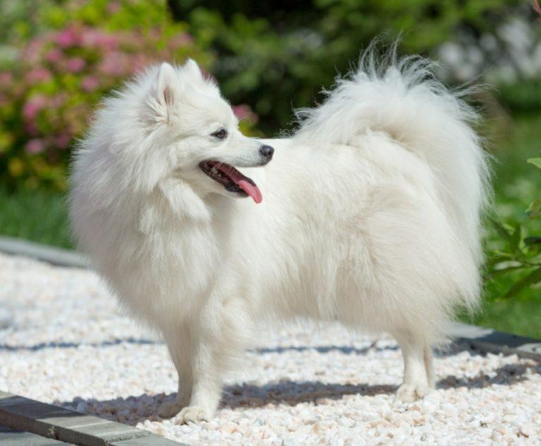 Японский шпиц (58 фото): описание белых щенков и взрослых карликовых собак, плюсы и минусы, размеры и вес, отзывы владельцев