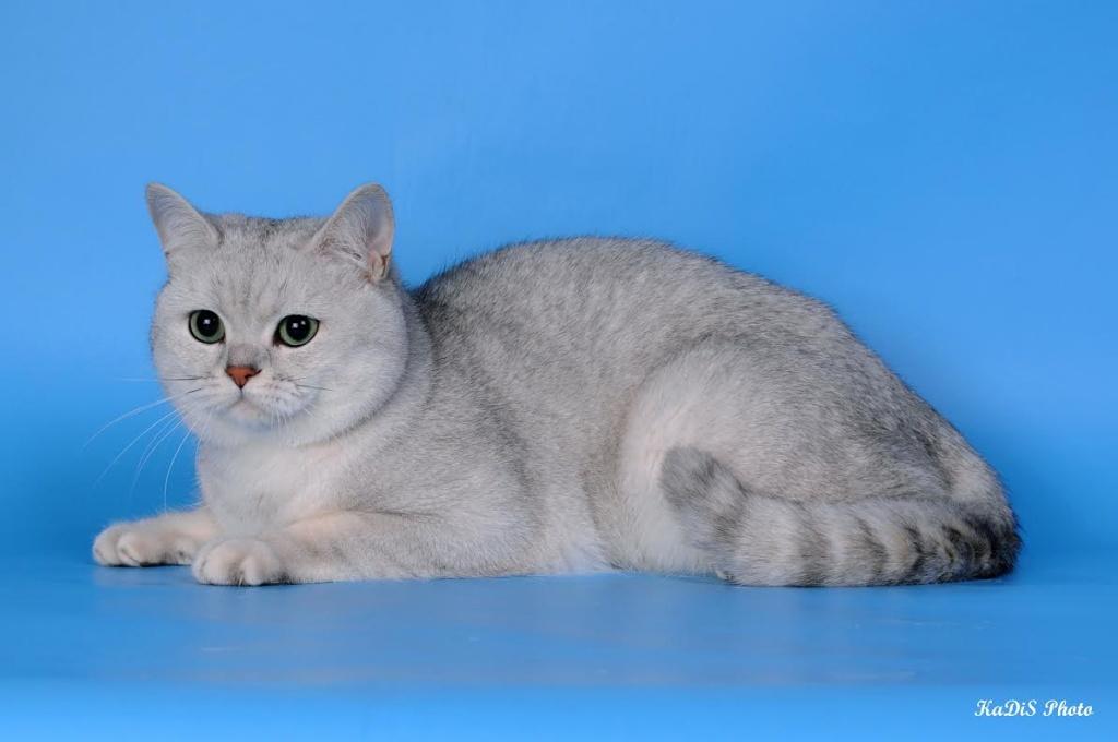 Британская короткошерстная порода кошек: окрасы от голубого до вискаса, фото котов и котят   сайт о домашних животных