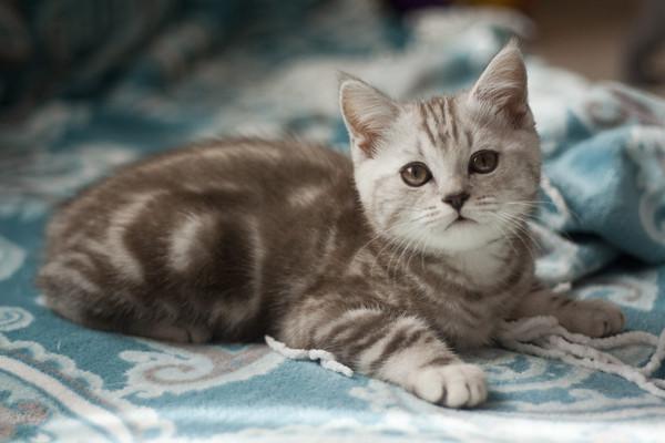 Британская кошка окрас серый с белым