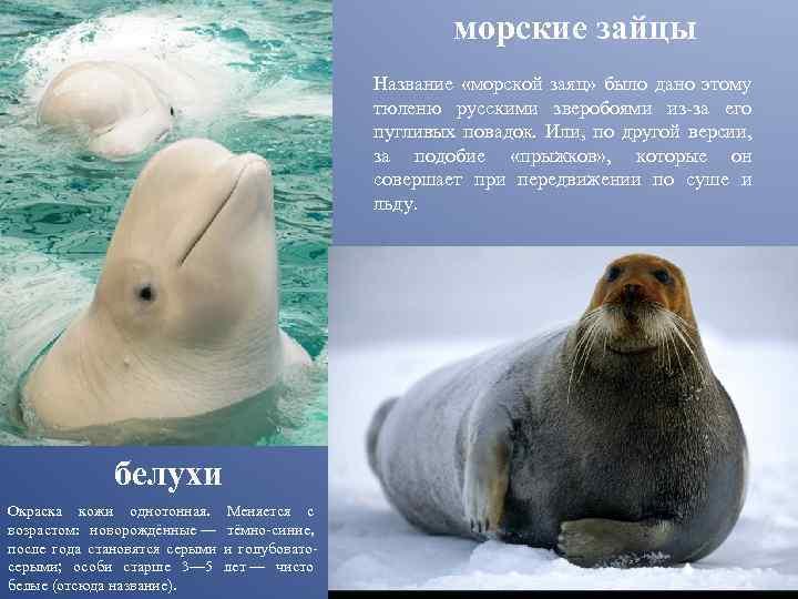 Морской заяц (лахтак)   мир животных и растений