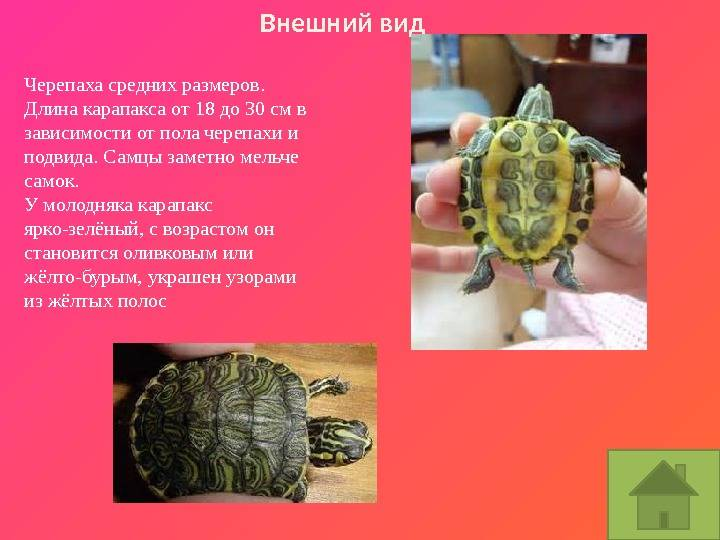 Как определить пол красноухой черепахи в домашних условиях