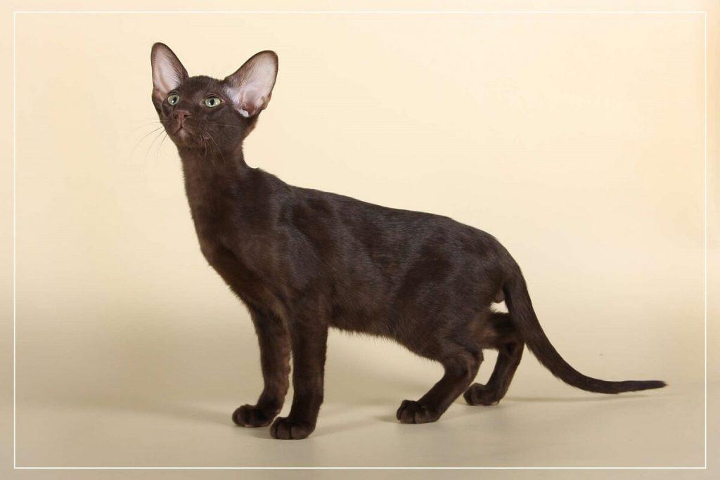 Кошки породы гавана браун: информация и особенности характера