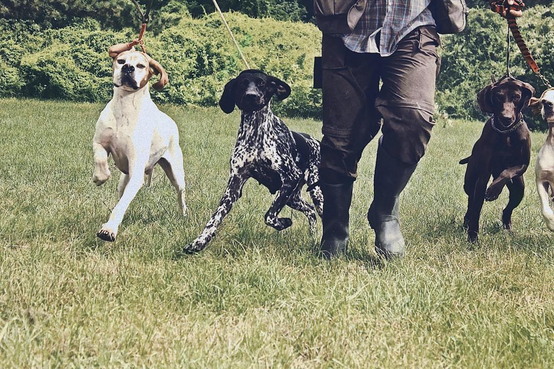 Английский пойнтер: описание и стандарт породы, отзывы и характеристика охотничьих собак, выбор щенка
