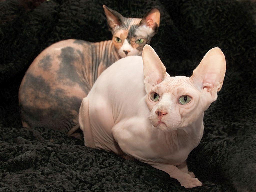 Порода лысых кошек эльф из группы сфинксов
