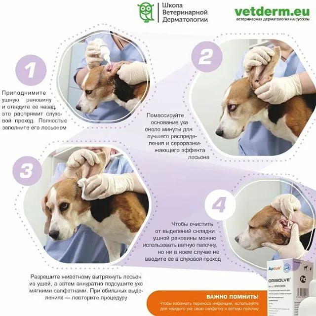 Как чистить уши собаке: основные правила и инструкция