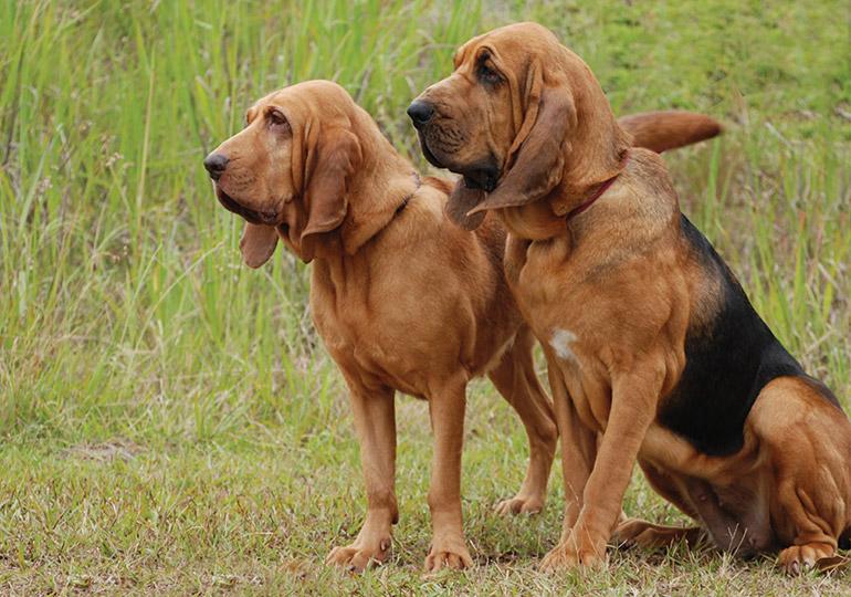 Бладхаунд ???? фото, описание, характер, факты, плюсы, минусы собаки ✔